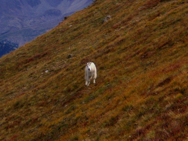 My mountain goat friend as he made his way down Glacier Mountain to see what I was doing