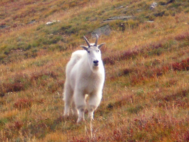 The mountain goat stopped and stared at me and sniffed the wind.