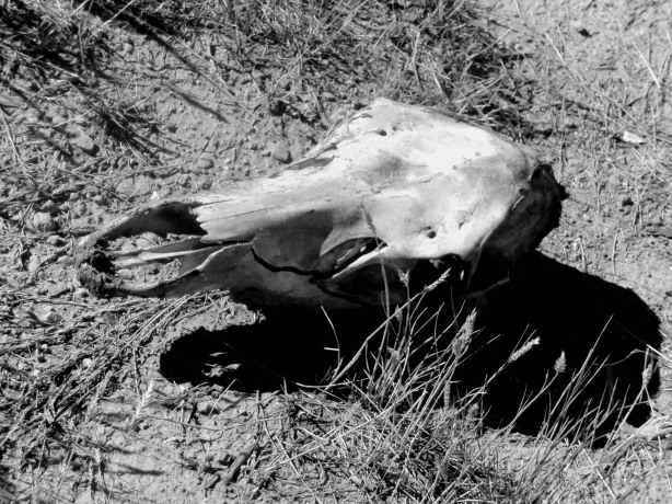 Elk skull near the homestead