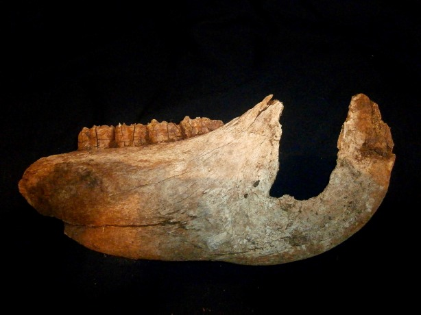 The old horse mandible
